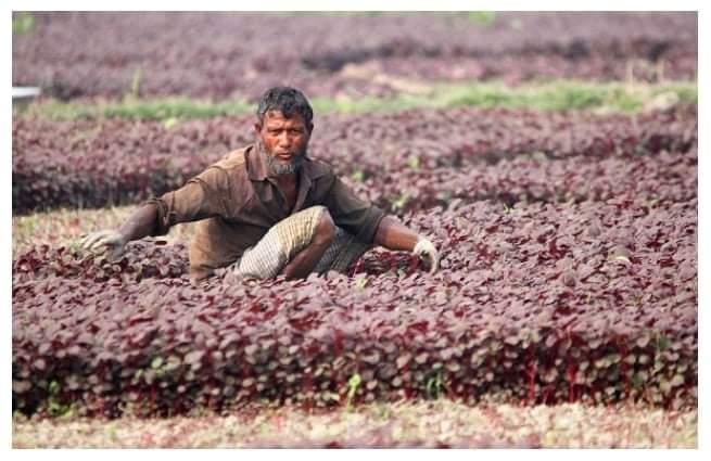 মাধবপুরে একই জমিতে বছরে ১০ বার বিষমুক্ত লাল শাক চাষ করে স্বাবলম্বী কৃষকরা